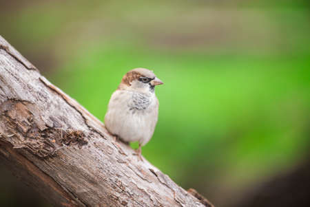 House sparrow perched on a tree branch. Banco de Imagens