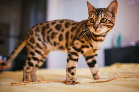 Bengal cat stands on yellow bed