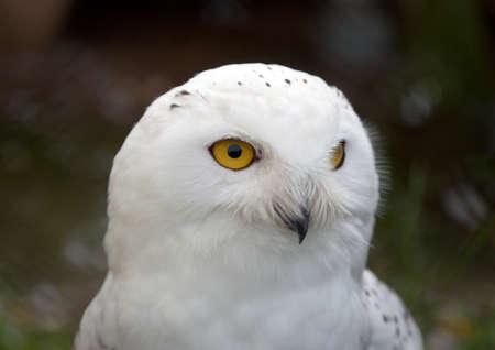 Head of white Snowy Owl (Nyctea scandiaca) Stock fotó