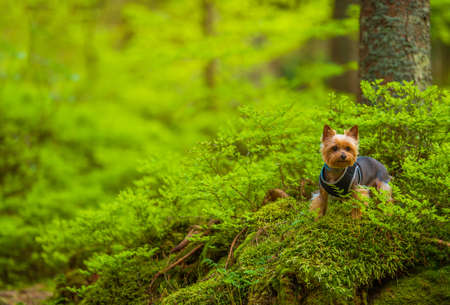 Dog on the Forest Trail Walk. Australian Silky Terrier. 免版税图像