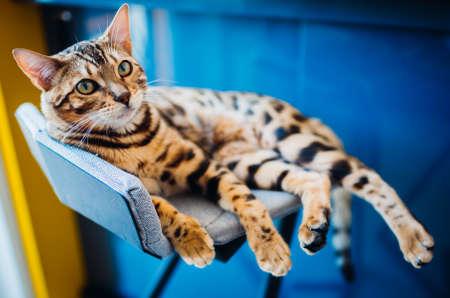 Bengal cat lies on grey chair Stock fotó