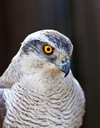 view of Hawk goshawk head Stock Photo