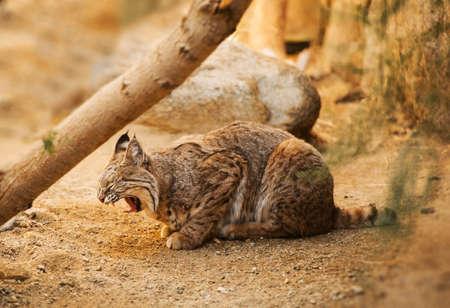 Bobcat is a North American Mammal. Adult Bobcat (Lynx Rufus) Photo.