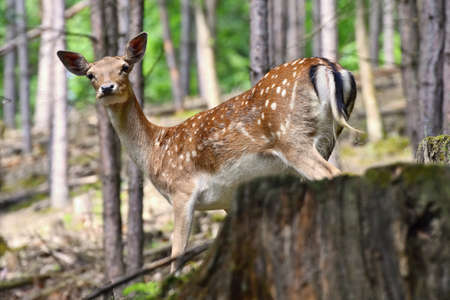 Fallow - fallow deer. (Dama dama ) Beautiful natural background with animals. Forest and sunset. Brno - Czech Republic - Europe. Standard-Bild