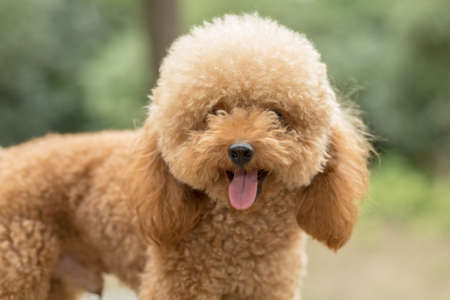 Toy Poodle On Grassy Field.