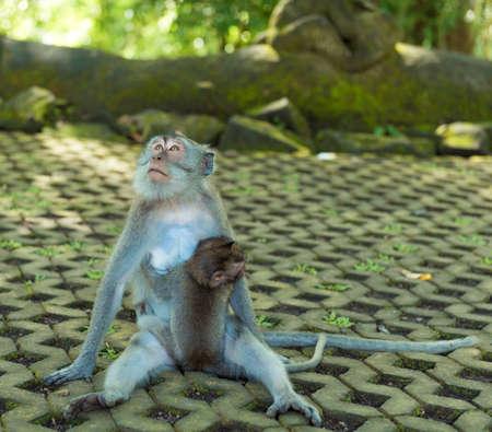 Monkeys at sacred monkey forest Ubud Bali Indonesia