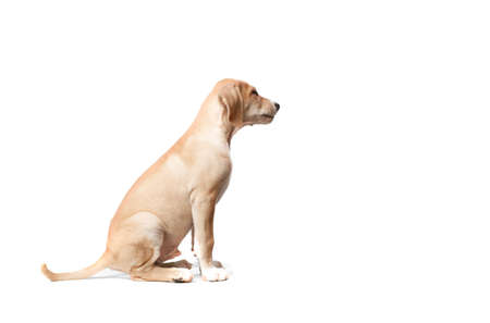 e9df4c00e7a Short Haired Blond Dog With Mouth Closed Close Up Stock Photo ...