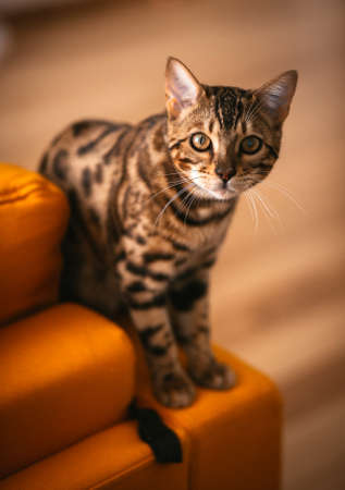Pretty Bengal cat stands on yellow couch