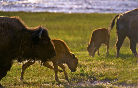 Wyoming Bisons - American Buffalo in Yellowstone National Park. Wildlife Photography Collection. Wyoming, USA.