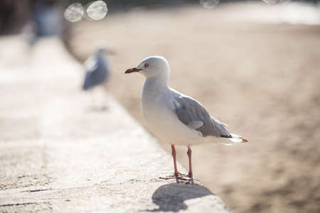 Sea gull at the beach misson bay new zealand Banque d'images