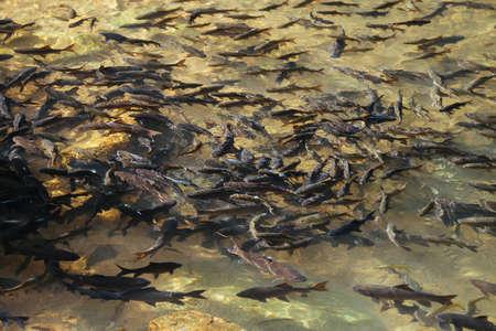 Soro brook carp waterfall fish.