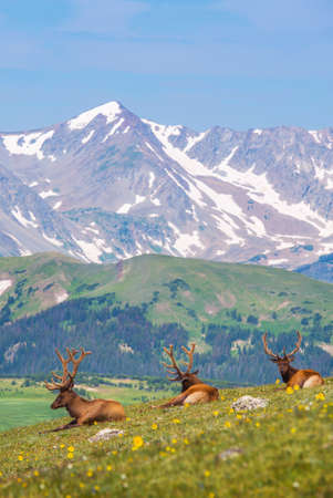 Summer Colorado Mountain Meadow with Three Elks Resting on the Grass. Colorado Wilderness. Stock Photo