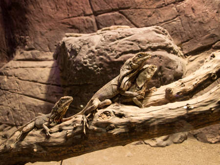 frilled: Three Frilled Lizard on Banch Stock Photo