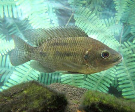 freshwater fish: freshwater fish in Japan