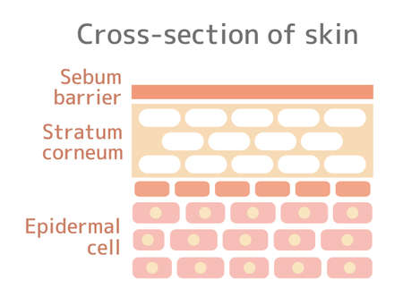 Sectional view illustration of the skin. With text. Vettoriali