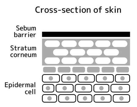 Sectional view illustration of the skin. No text. Ilustração
