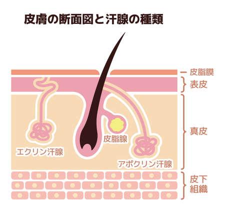 Sectie van de huid en zweetklieren. vector illustratie (Japans).