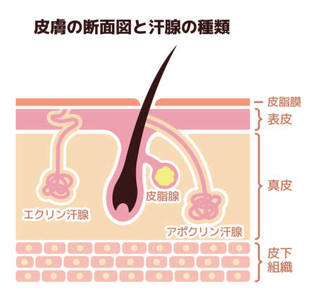 Section of the skin and sweat glands. vector illustration (Japanese).