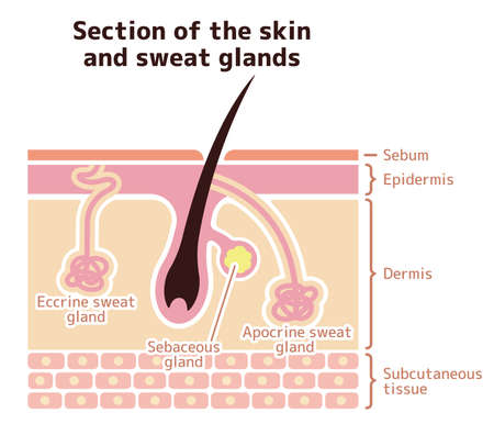 Section of the skin and sweat glands. vector illustration (English).