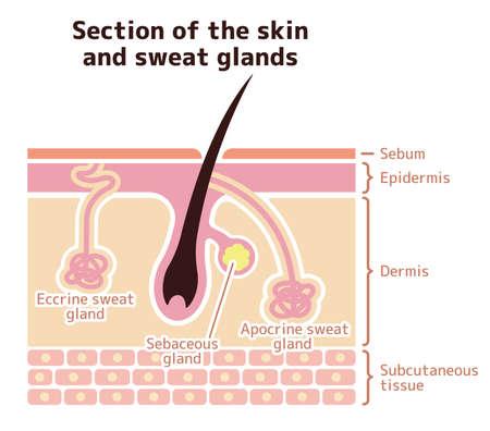Section de la peau et des glandes sudoripares. illustration vectorielle (anglais).