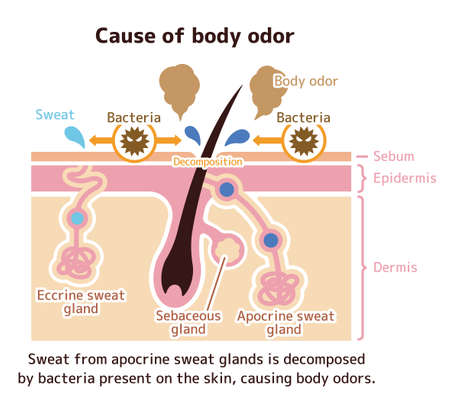 Cause of body odor illustration (English) 向量圖像