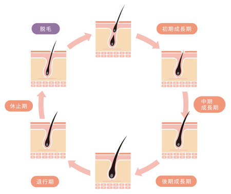 Normal hair cycle illustration (japanese)
