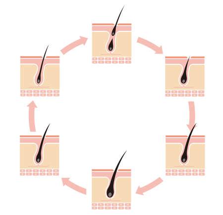 Normal hair cycle illustration (no text) Vectores