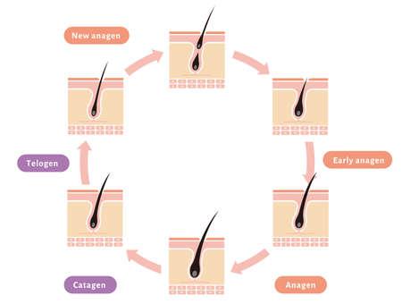 Normal hair cycle illustration (english) Illustration