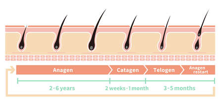 Normal hair cycle illustration.