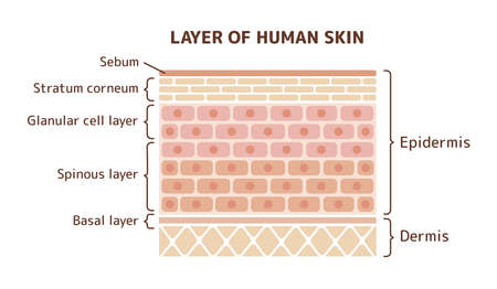 Layer of human skin illustration