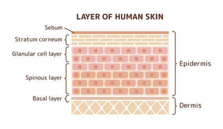 Layer of human skin illustration Stock Vector - 98787473