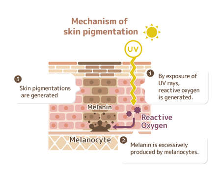 Mechanism of skin pigmentation