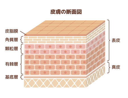 Layer of human skin illustration / japanese