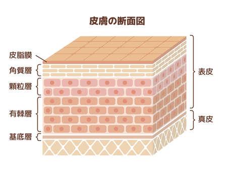 Layer of human skin illustration / japanese