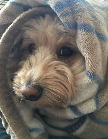 A dog wrapped in a blanket