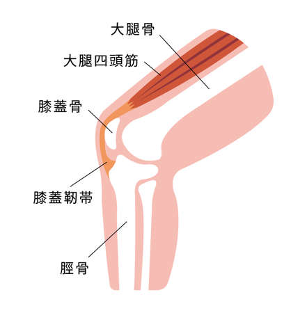 Knee joint section illustration