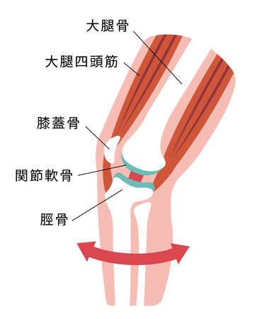 Knee joint sectional illustration  イラスト・ベクター素材