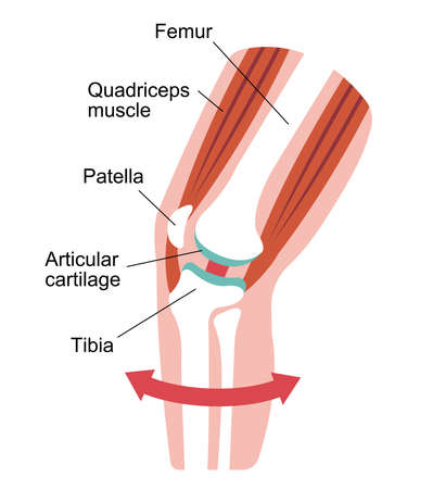 Knee joint sectional illustration Illustration