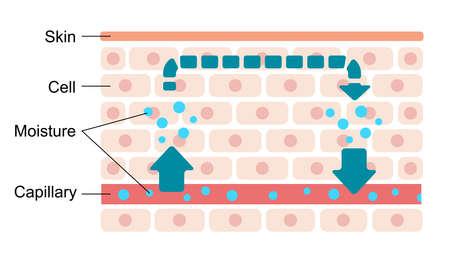 Illustration of normal skin condition (Normal moisture circulation) Illustration