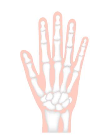 hand bone vector illustration (human anatomy) / no text