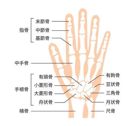 hand bone vector illustration (human anatomy) / Japanese