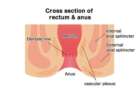 Cross section of rectum and anus / vector illustration