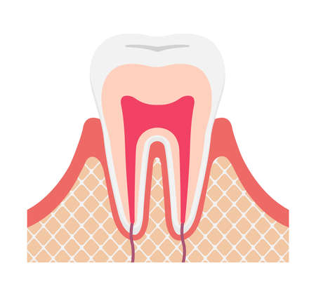Tooth anatomy flat vector illustration (no text)
