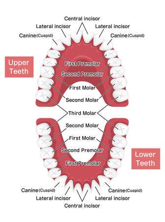 Human permanent teeth chart vector illustration