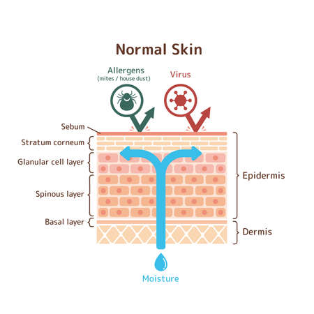 Sectional view of normal skin / vector illustration Ilustracja