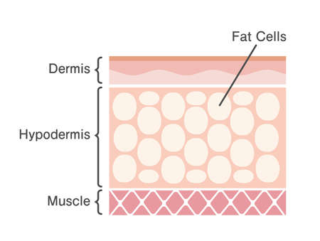 sectional view of fat cells vector illustration