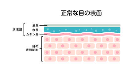 Cross section of normal eye surface. flat vector illustration (Japanese)