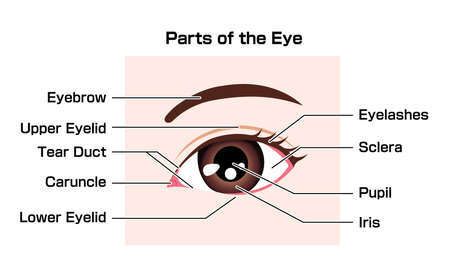 Structure of human eye ( names of parts ) vector illustration Vetores