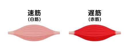 Difference between white muscle and red muscle. Vector illustration.