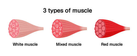 3 types of muscle ( white, mixed and red muscle ) vector illustration set. Çizim